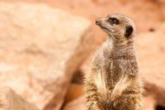 Meerkat patrzeje z lewej strony Obrazy Stock