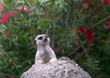 Meerkat peaking out of a hole in rock Stock Photo