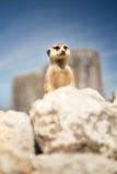 Meerkat peeking behind rock Royalty Free Stock Photos
