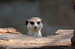 Meerkat peeping Stock Photography
