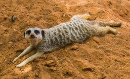 Meerkat perezoso Foto de archivo libre de regalías