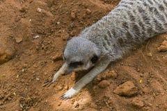 Meerkat perezoso Imagenes de archivo