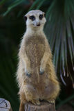 Meerkat. This photo shows a meerkat standing on a wood trunk Stock Photo