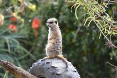 Meerkat. A photo of a meerkat taken in Australia Stock Photos