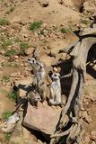 Meerkat. This photo is from Zoo Jihlava in Czech Republic Stock Image