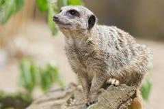 Meerkat. Picture of a meerkat at animal park Stock Images