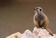 Meerkat. The picture was taken in Budapest Zoo Stock Image