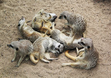 Meerkat Pile II. A pile of rowdy meerkats at the Melbourne Zoo Royalty Free Stock Photos