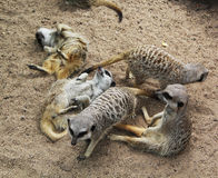 Meerkat Pile III. A decidedly less crowded pile of rowdy meerkats at the Melbourne Zoo Royalty Free Stock Image