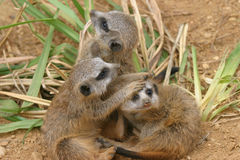 Meerkat playing. Three meerkat siblings romping around in front of the den royalty free stock photos