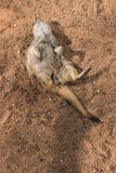 Meerkat playing dead Royalty Free Stock Image