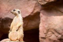 Meerkat podczas gdy stojący i być czujny środowisko zdjęcie stock