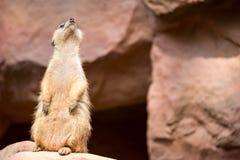 Meerkat podczas gdy stojący i być czujny środowisko obraz stock