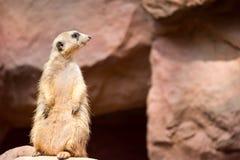 Meerkat podczas gdy stojący i być czujny środowisko fotografia stock