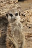 Meerkat portait. Young meerkat is looking for other animals - Suricata suricatta Stock Image