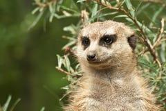 Meerkat-Porträt Stockfotografie