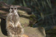 Meerkat Portrait Stockfoto
