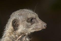 Meerkat Portrait Lizenzfreie Stockbilder