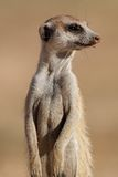 Meerkat portrait Royalty Free Stock Photography