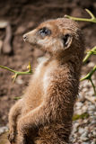 Meerkat portrait Stock Photos