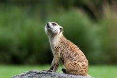 Meerkat portrait. Meerkat sitting on the rock Stock Photography