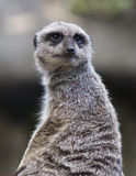 Meerkat portrait Stock Photo
