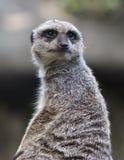 Meerkat portrait Stock Photo