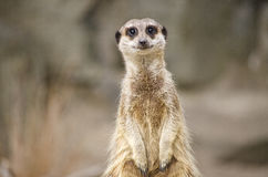 Meerkat Portrait Stockfotografie