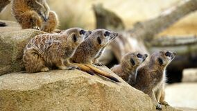 Meerkat portrait Stock Images
