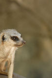 Meerkat Portrait Royalty Free Stock Image
