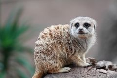 Meerkat portrait. A portrait of a meerkat on a rock Royalty Free Stock Photos