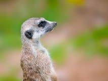 Meerkat portrait. Against blurry background Royalty Free Stock Photos