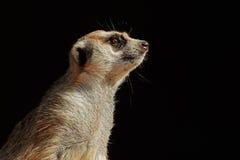 Meerkat portrait on black Stock Images