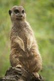 Meerkat. Portrait of a brown meerkat Stock Photo