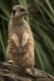 Meerkat. Portrait of a brown meerkat Stock Images
