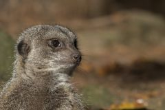 Meerkat portrait. And close up Stock Photos