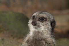 Meerkat portrait. And close up Stock Photo