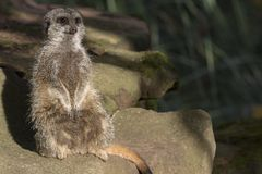 Meerkat portrait. And close up Royalty Free Stock Photography