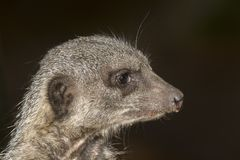 Meerkat portrait. And close up Royalty Free Stock Images