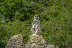 Meerkat portrait standing on a rock Royalty Free Stock Image