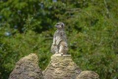 Meerkat portrait standing on a rock Stock Image