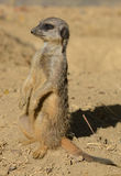 Meerkat Portrait (Surica surica) Stock Photos