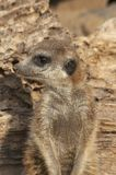 Meerkat. Portrait of a meerkat - Suricata suricatta Royalty Free Stock Photography