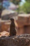 Meerkat. Portrait of meerkat it the zoo royalty free stock photography