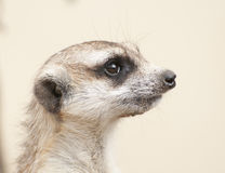 meerkat portret Obraz Stock