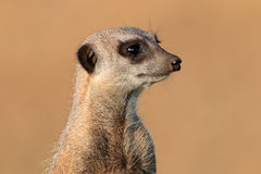 Meerkat portret Obrazy Royalty Free
