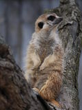 Meerkat posant sur un arbre Photo stock