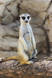 Meerkat posing on a Log Royalty Free Stock Photography