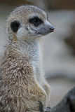 Meerkat posing Royalty Free Stock Images