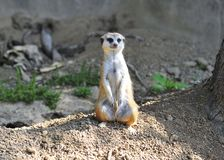 Meerkat. A meerkat posing in the wildnerness of Africarn Royalty Free Stock Images